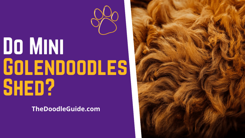 Do Mini Goldendoodles Shed