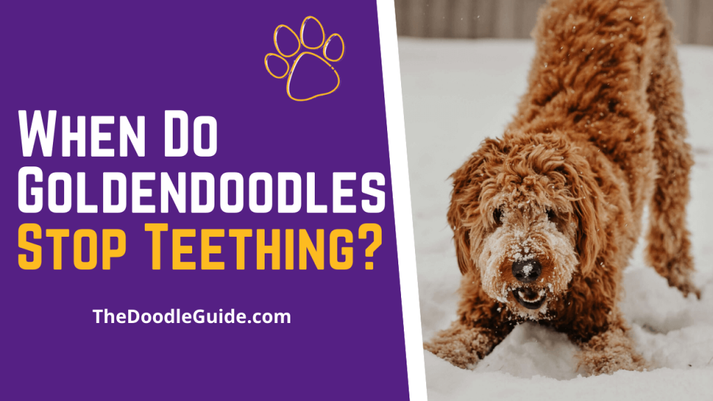 When Do Goldendoodles Stop Teething - TheDoodleGuide.com