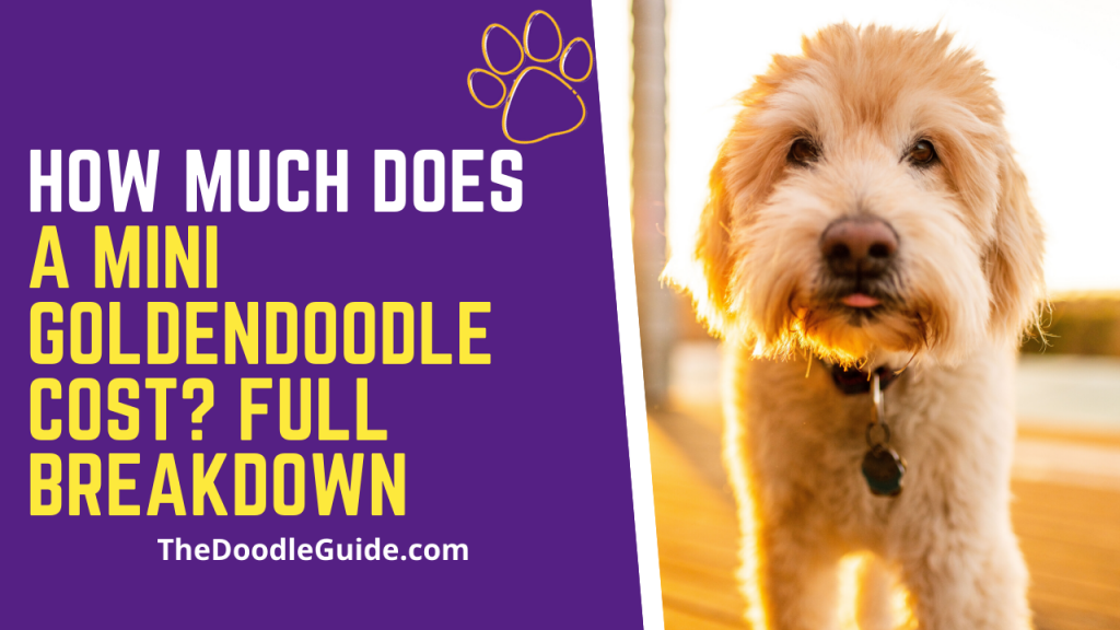 how much does a mini goldendoodle cost-thedoodleguide.com