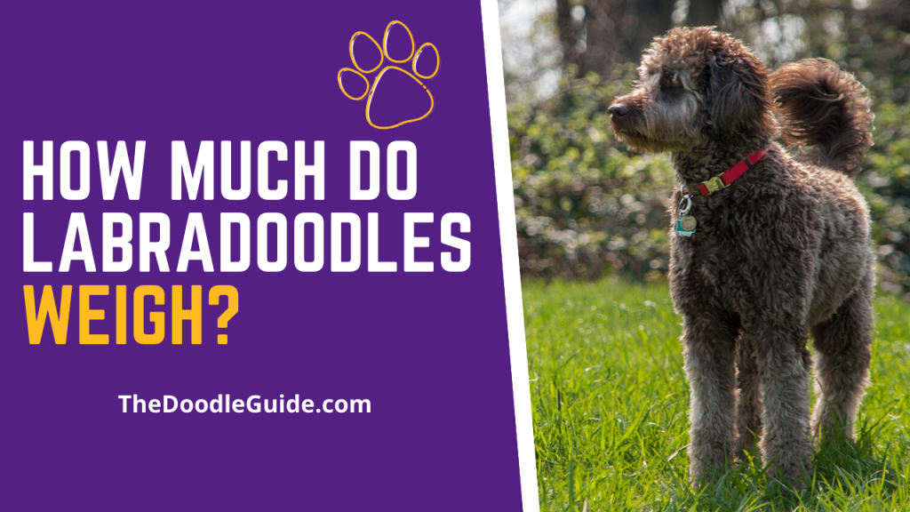 How much do labradoodles weigh - TheDoodleguide.com