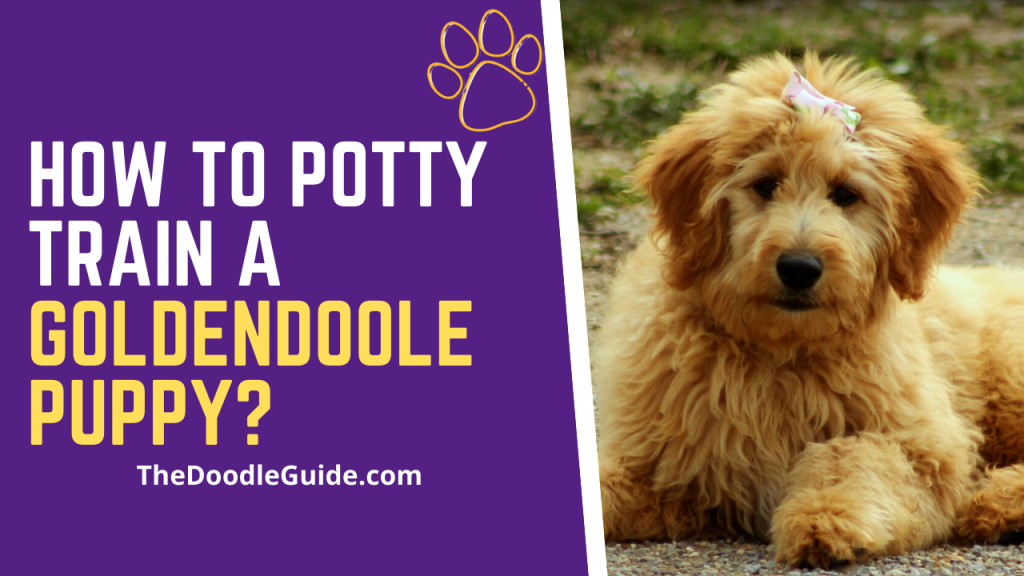 how to potty train a goldendoodle puppy- Thedoodleguide.com