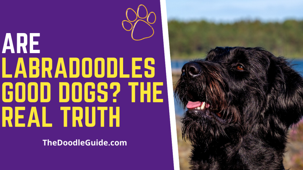 Are Labradoodles Good Dogs-thedoodleguide.com