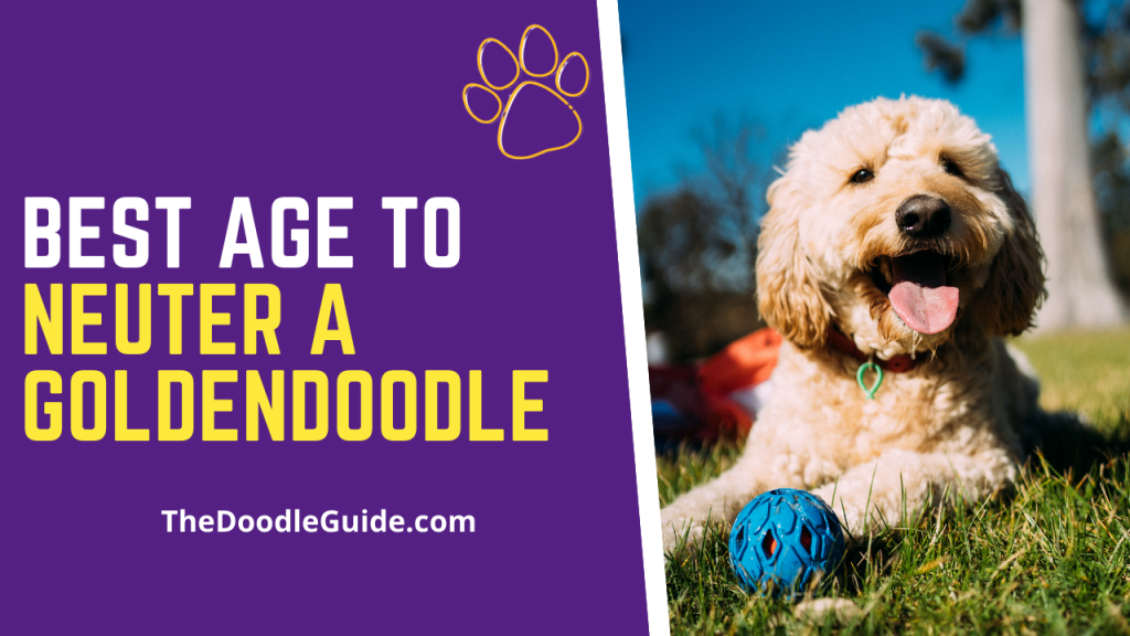 best age to neuter a goldendoodle-thedoodleguide.com