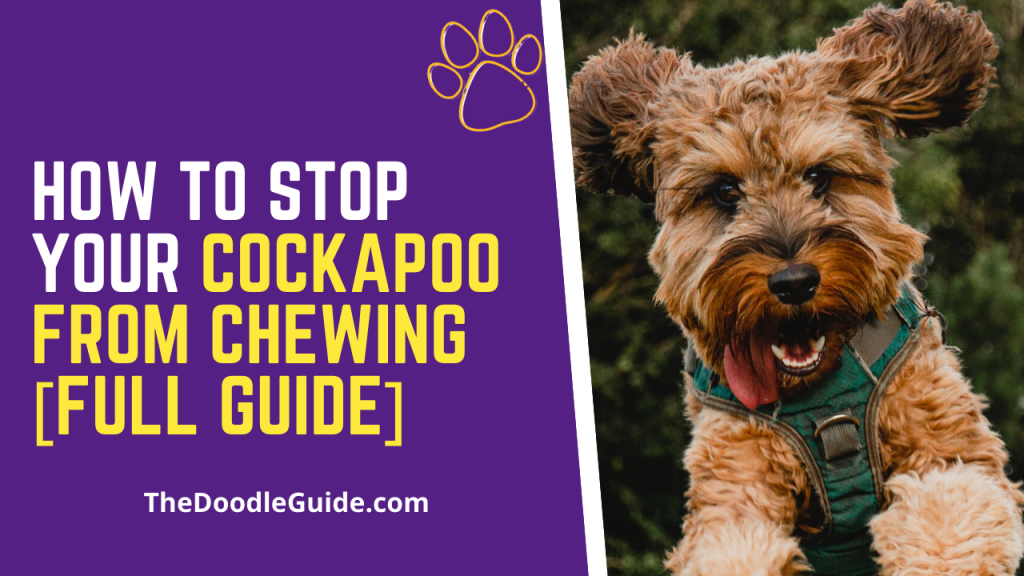 how to stop your cockapoo from chewing-thedoodleguide.com