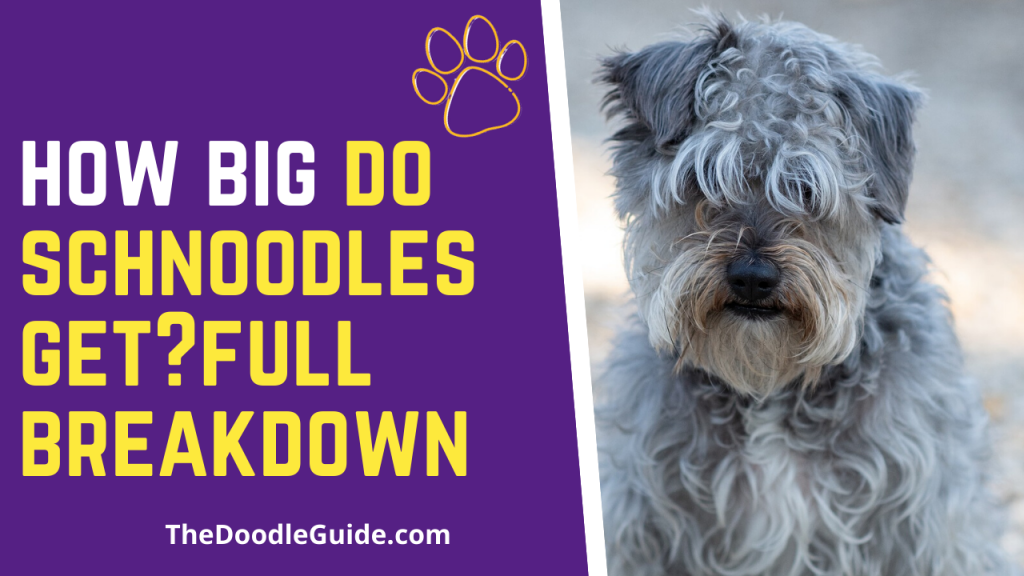 how big do schnoodles get-thedoodleguide.com