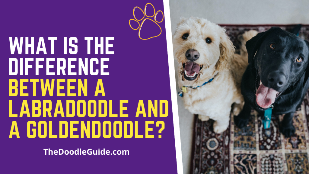what is the difference between a labradoodle and a goldendoodle-thedoodleguide.com