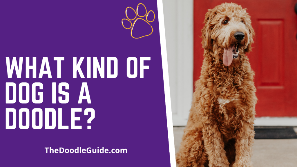 What Kind Of Dog Is A Doodle-thedoodleguide.com
