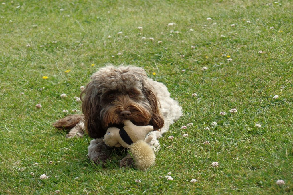 how to stop your cockapoo fr/om chewing-thedoodleguide.com