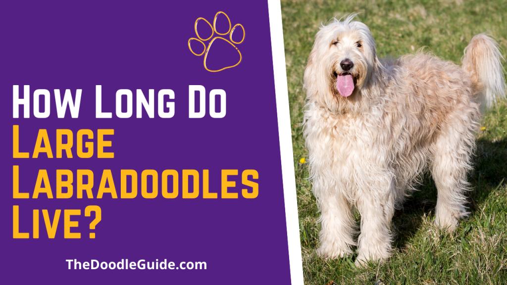 how long do large labradoodles live - TheDoodlGuide.com