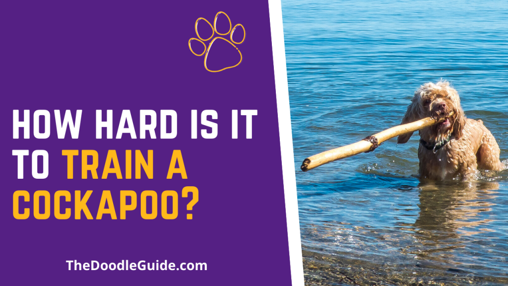 How Hard Is It To Train A Cockapoo - TheDoodleGuide.com