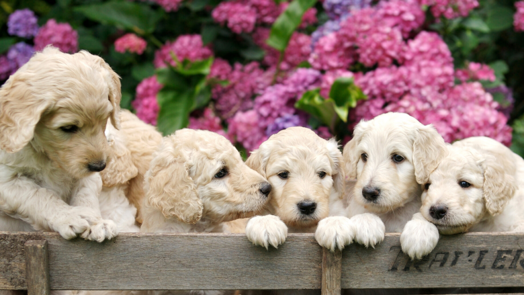 How Much Does A Labradoodle Cost? - TheDoodleGuide.com