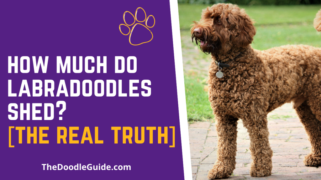 how much do labradoodles shed - TheDoodleGuide.com