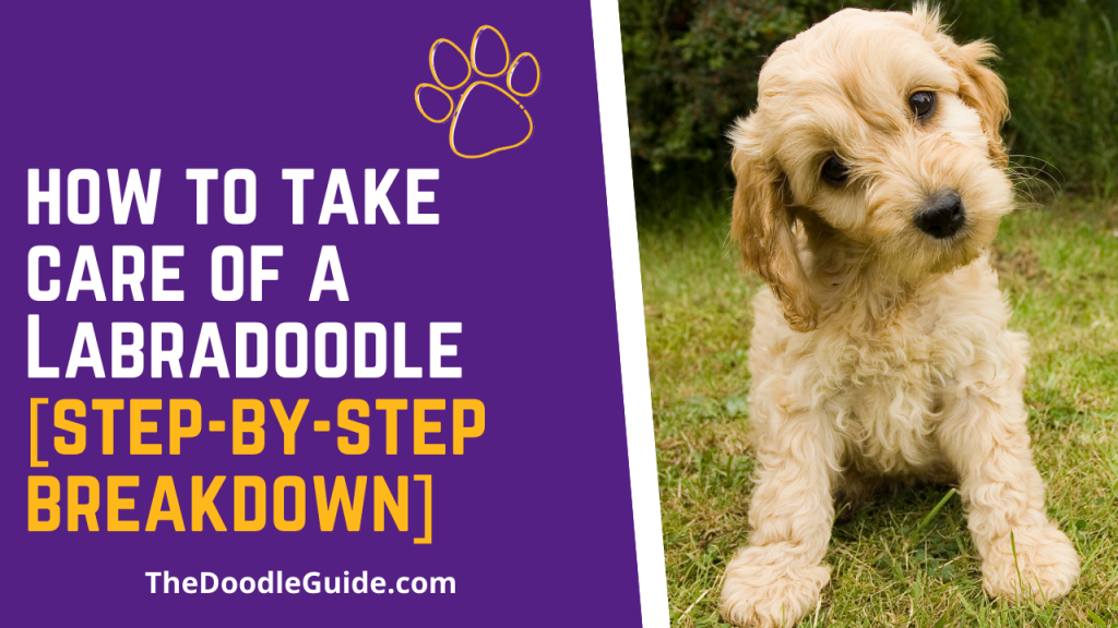 how to take care of a labradoodle - TheDoodleGuide.com