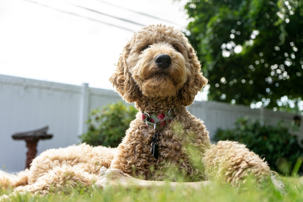 labradoodles are naturally friendly - TheDoodleGuide.com