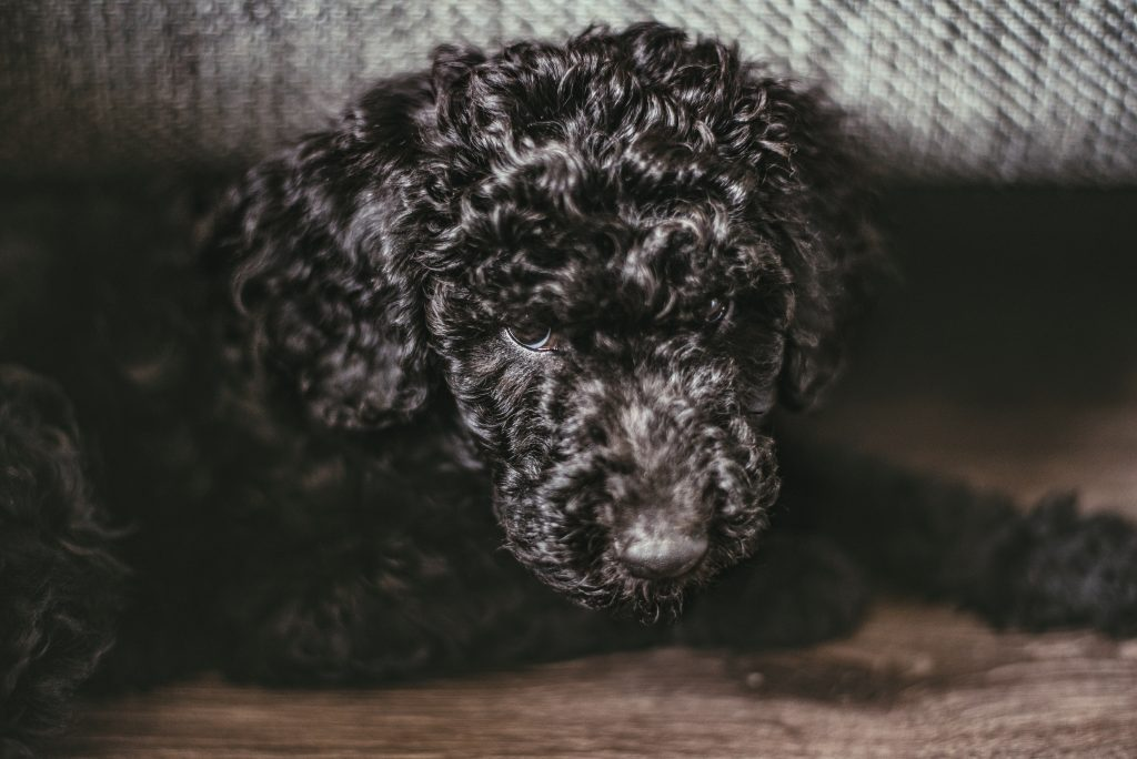 health conditions of a Labradoodle - TheDoodleGuide.com
