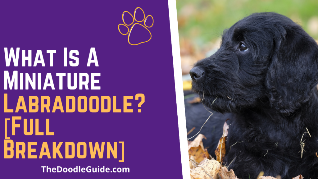 what is a miniature labradoodle - thedoodleguide.com