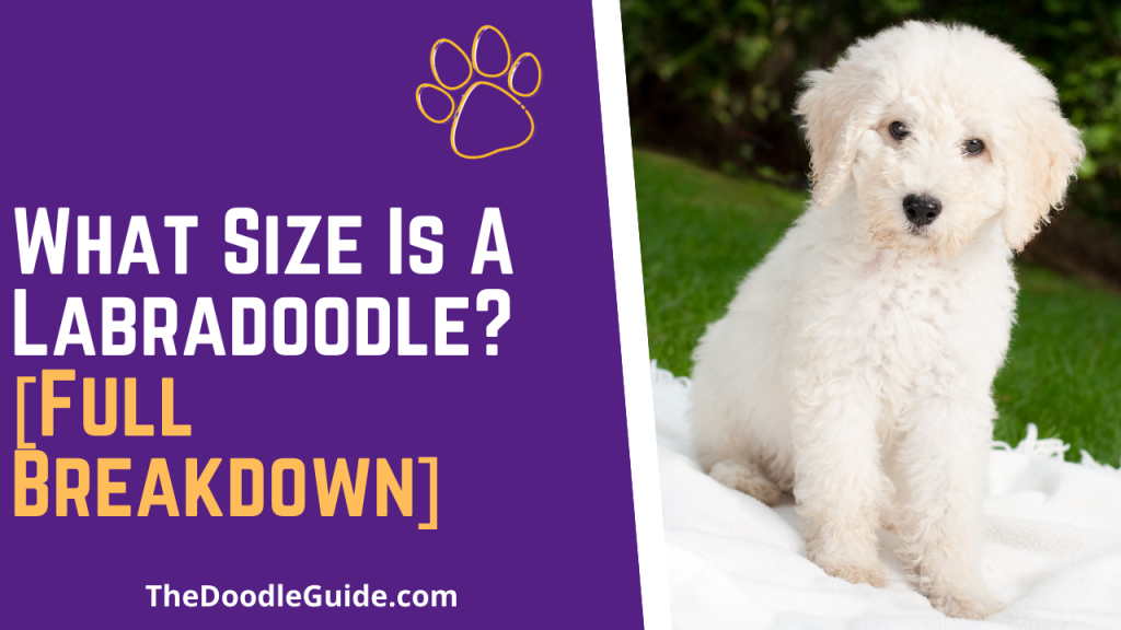 what size is a labradoodle - thedoodleguide.com