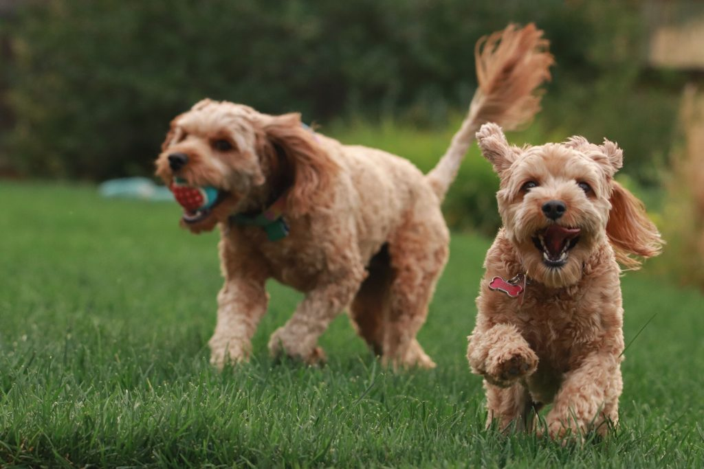 best treats for goldendoodles - TheDoodleGuide.com