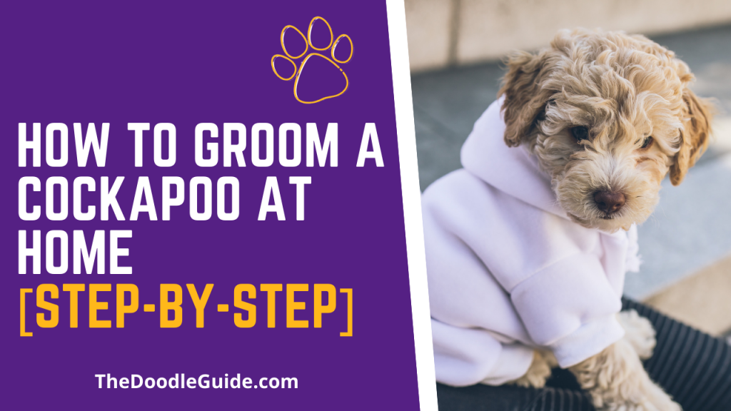 how to groom a cockapoo at home - TheDoodleGuide.com