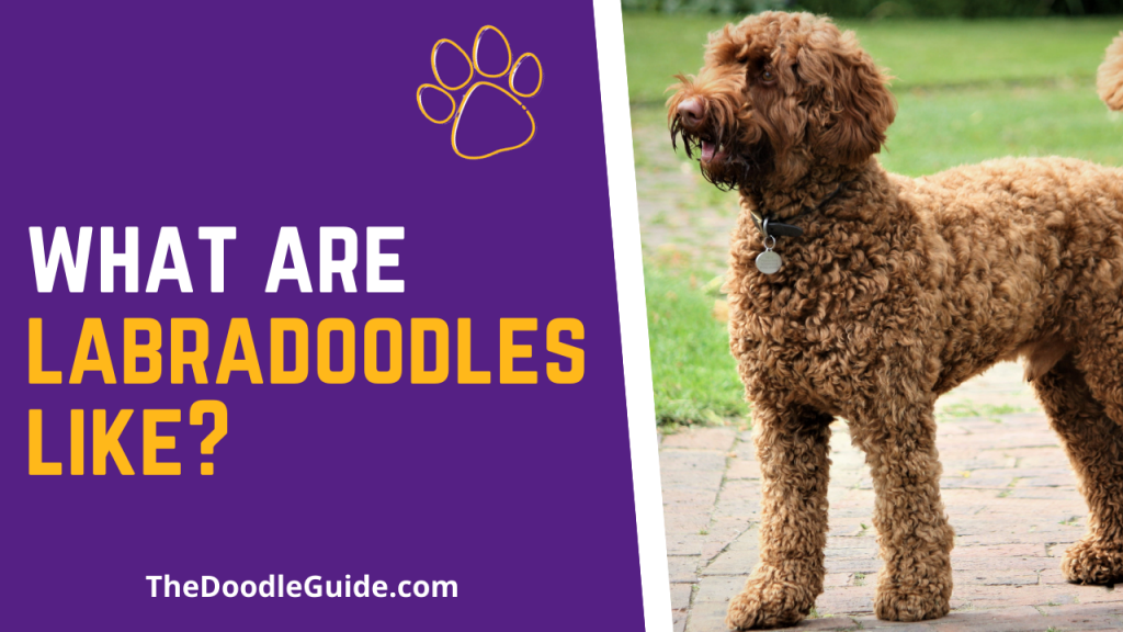 what are labradoodles like - TheDoodleGuide.com