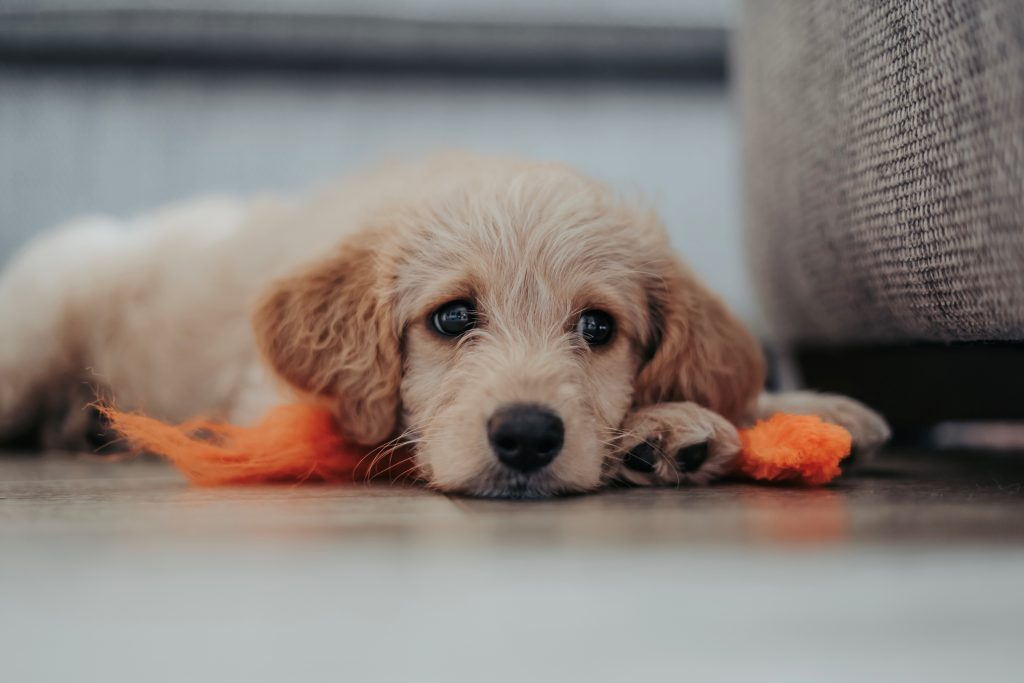how much should i feed my labradoodle puppy