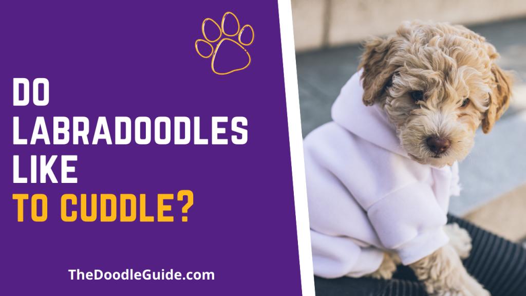 do labradoodles like to cuddle - TheDoodleGuide.com