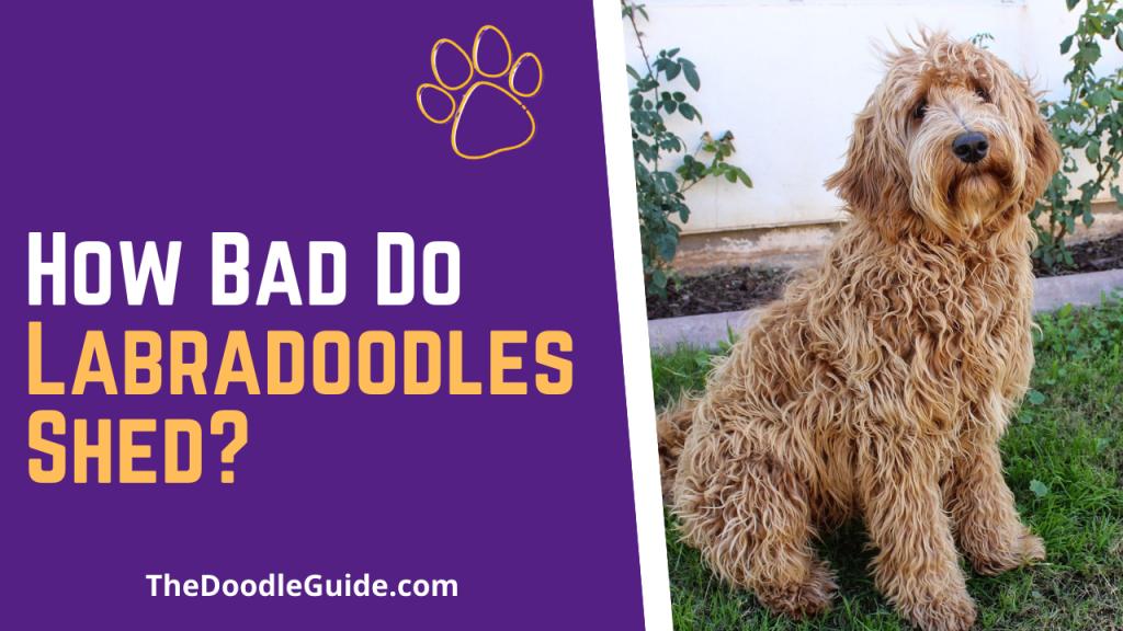 how bad do labradoodles shed - TheDoodleGuide.com
