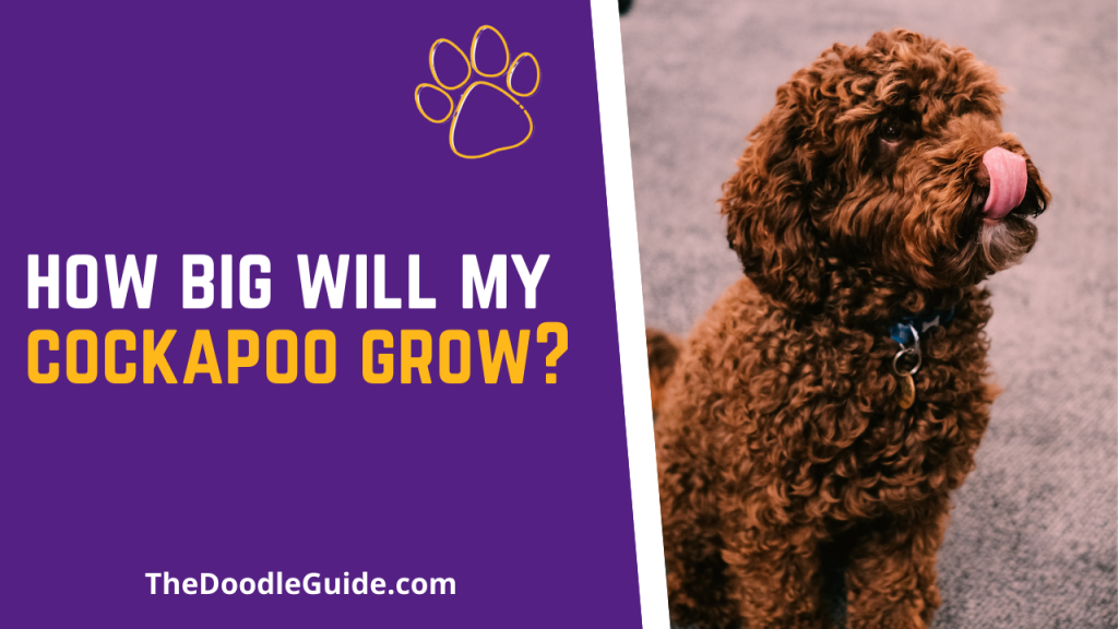 how big will my cockapoo grow - TheDoodleGuide.com