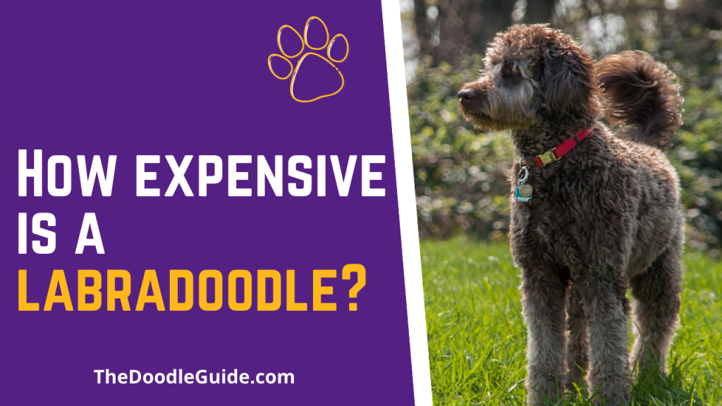 how expensive is a labradoodle - TheDoodleGuide.com