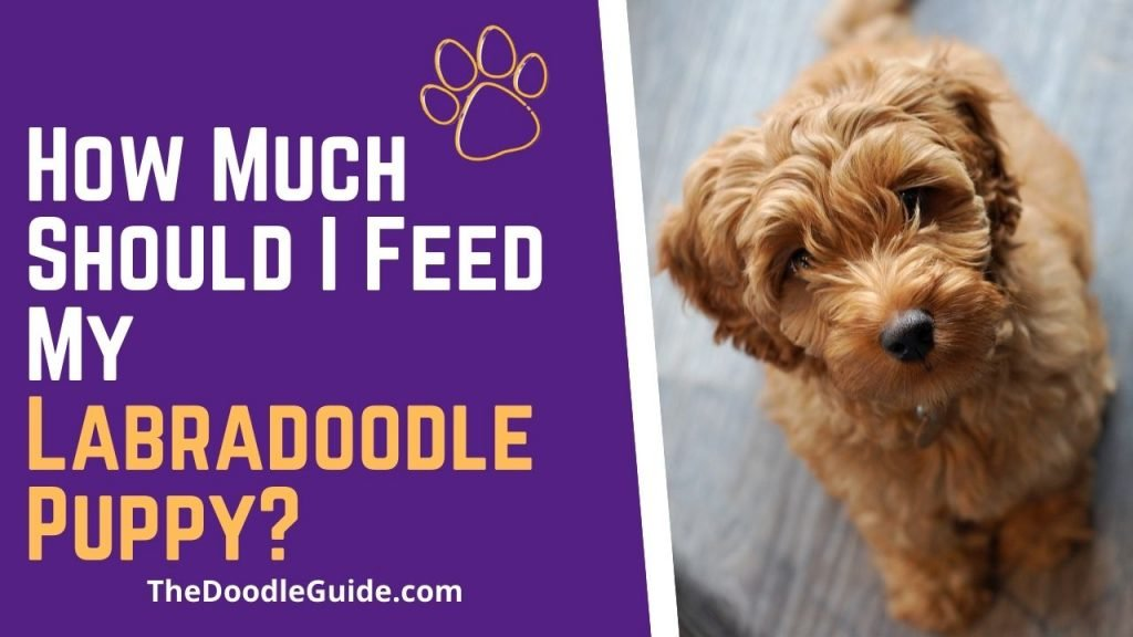 how much should i feed my labradoodle puppy - TheDoodleGuide.com