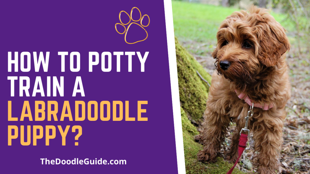 how to potty train a labradoodle puppy - TheDoodleGuide.com