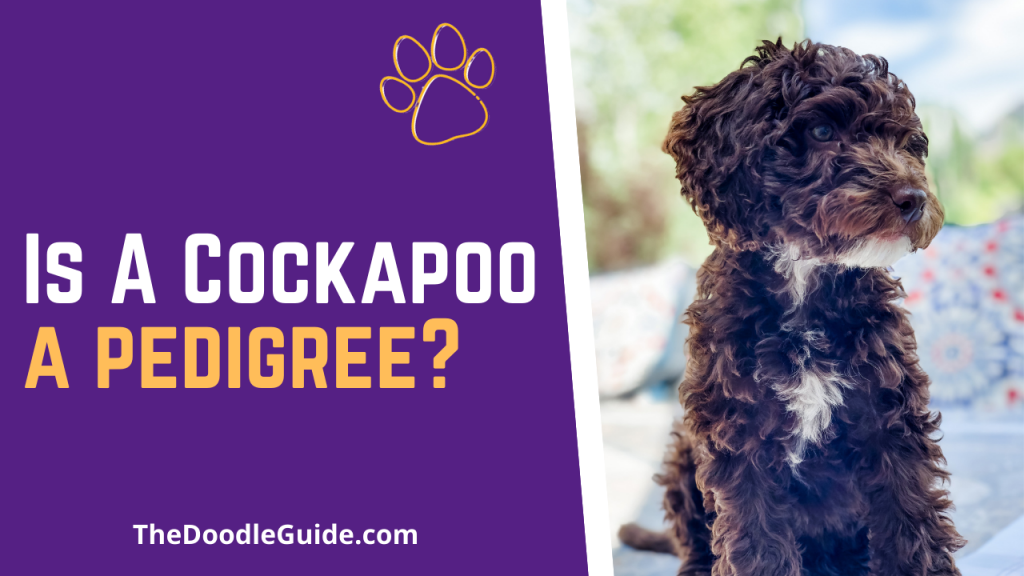 is a cockapoo a pedigree - TheDoodleGuide.com