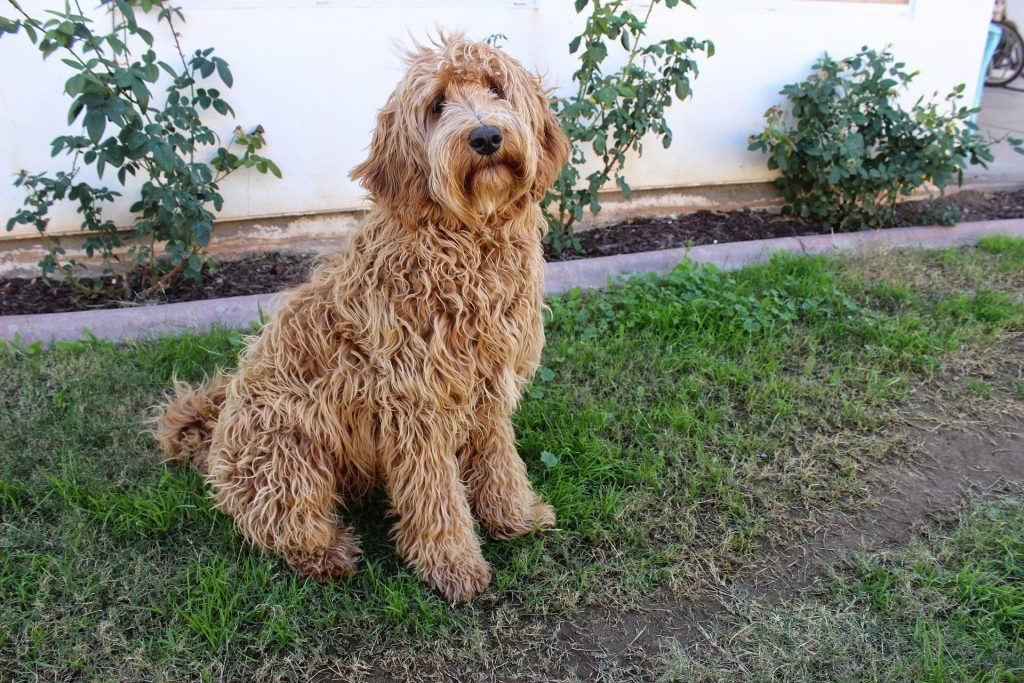 how bad do labradoodles shed