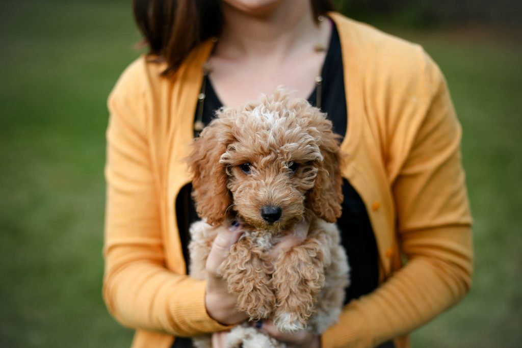 what is a double doodle dog breed - TheDoodleGuide.com