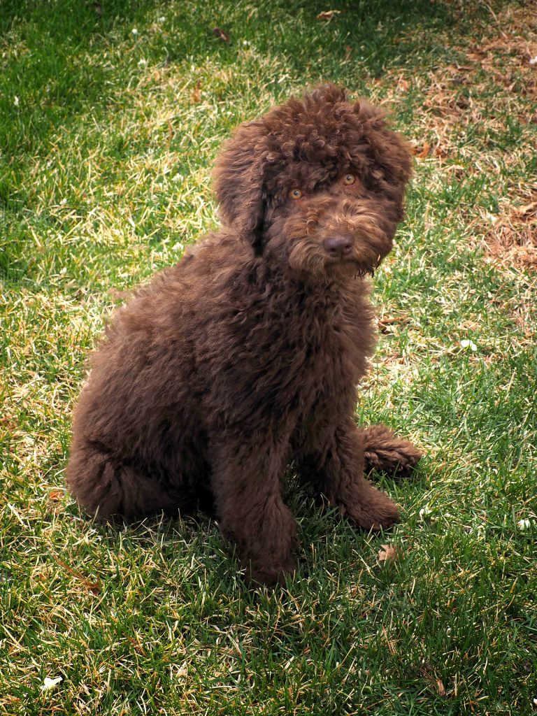 how to potty train a labradoodle puppy