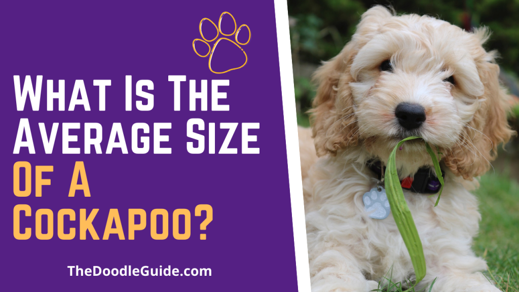 what is the average size of a cockapoo - TheDoodleGuide.com