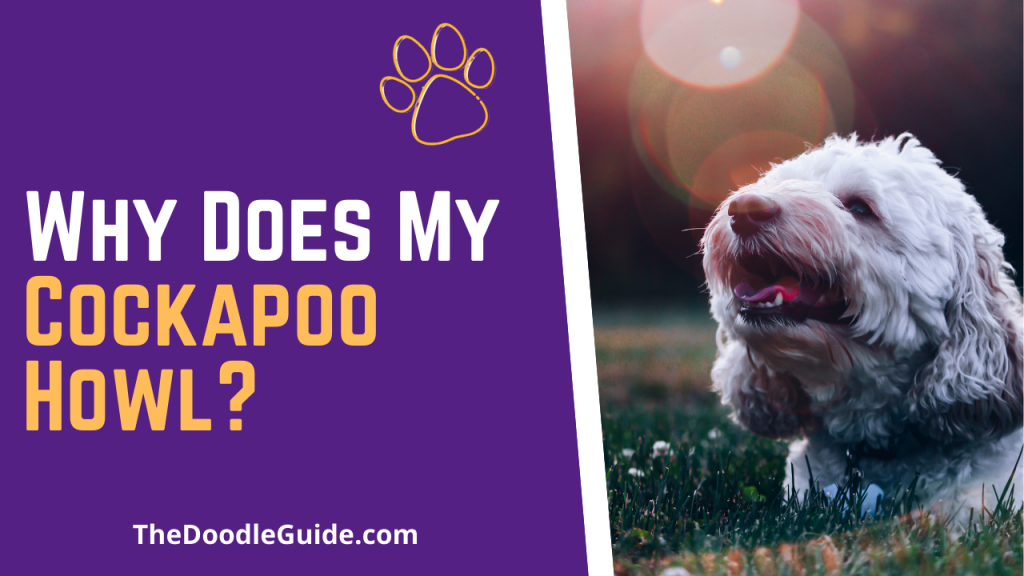 why does my cockapoo howl - TheDoodleGuide.com