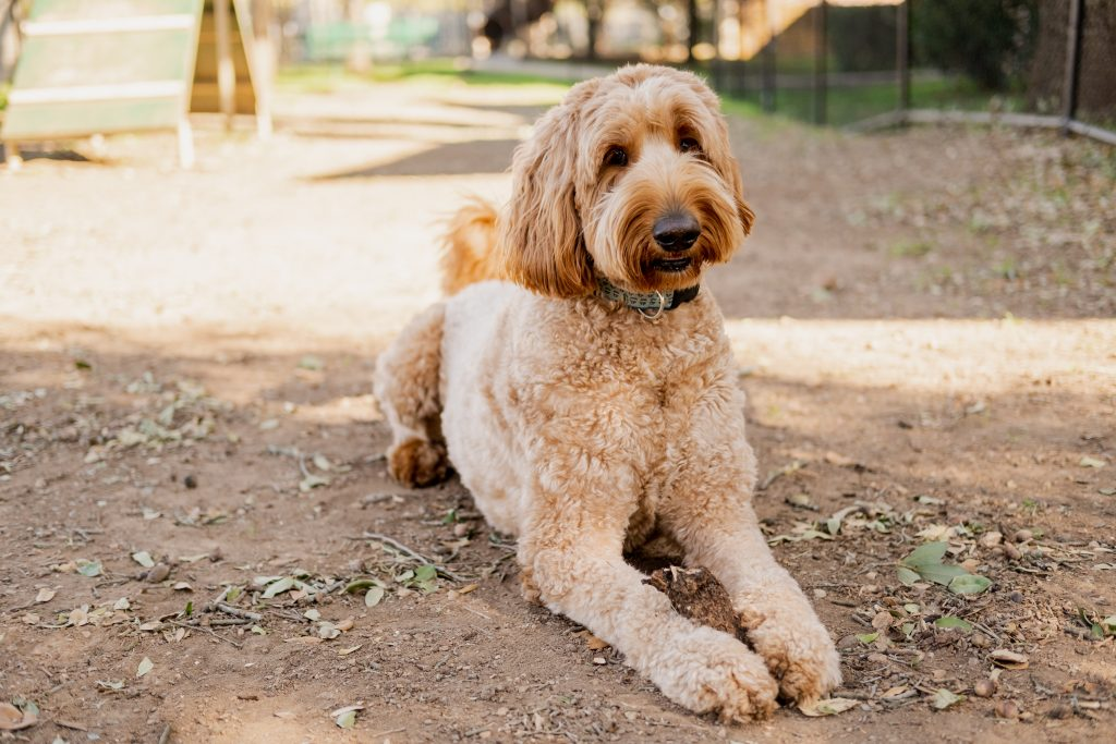 best treats for goldendoodles - TheDoodleGuide.com