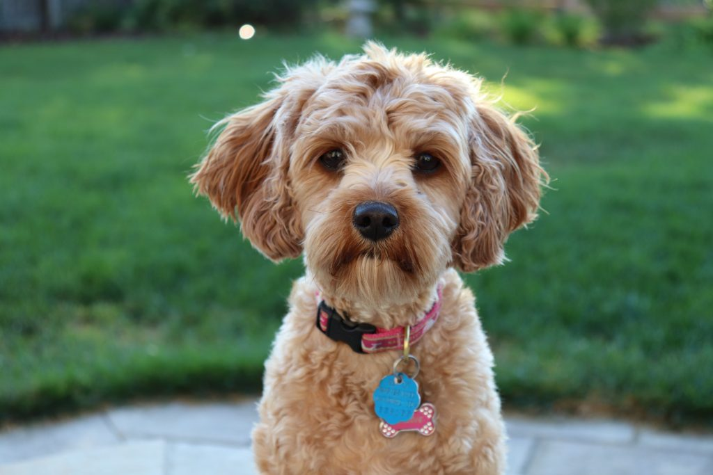best food for schnoodles - TheDoodleGuide.com