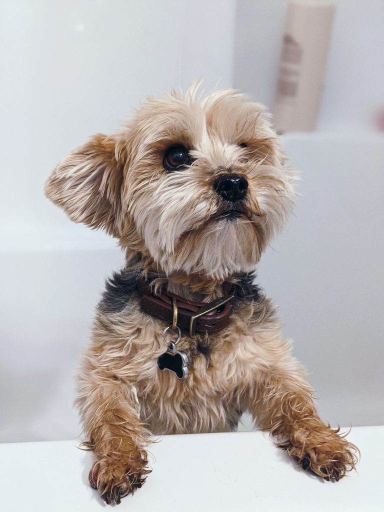 brown and black yorkshire terrier puppy