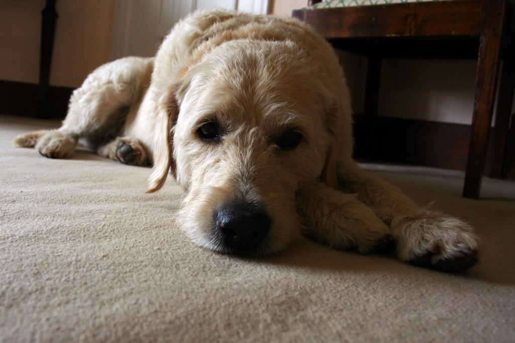 what is a golden labradoodle