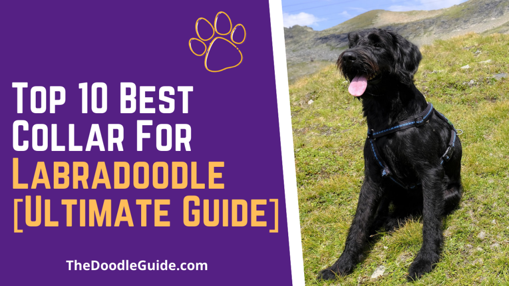 best collar for Labradoodle - TheDoodleGuide.com