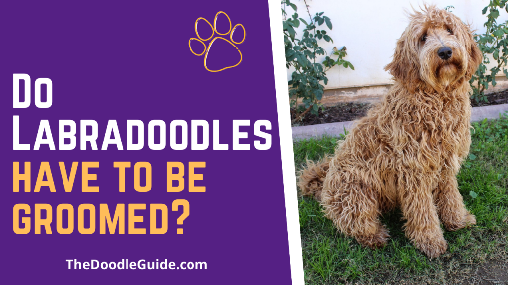 do labradoodles have to be groomed - TheDoodleGuide.com