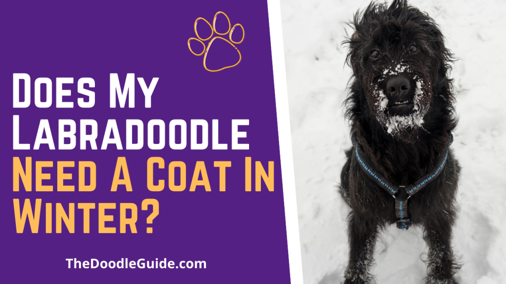 does my labradoodle need a coat in winter - TheDoodleGuide.com