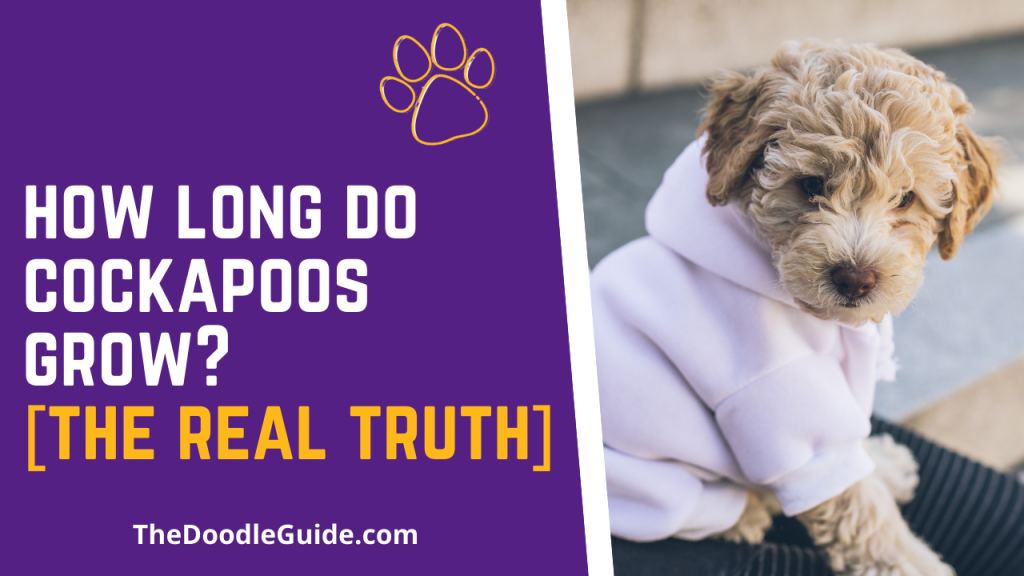 how long do cockapoos grow - thedoodleguide.com