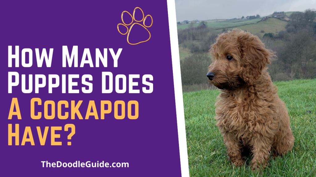 how many puppies does a cockapoo have - TheDoodleGuide.com