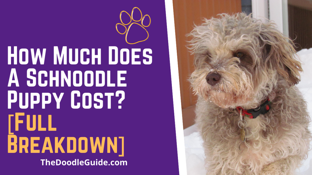 how much does a schnoodle puppy cost - TheDoodleGuide.com