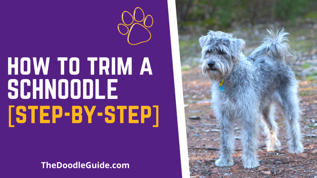 how to trim a schnoodle - TheDoodleGuide.com