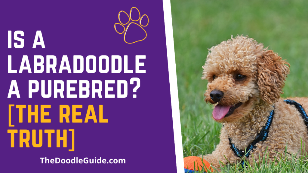 is a labradoodle a purebred - thedoodleguide.com