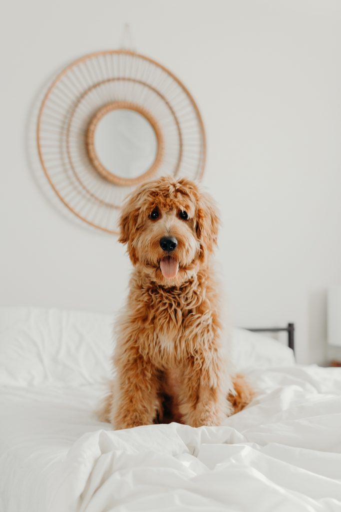 best goldendoodle names male - thedoodleguide.com
